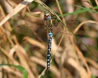 Colporteur migrateur mâle Photos stock