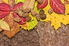 Colrful leaves and cones on bark background Royalty Free Stock Images