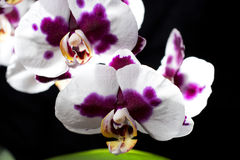 Colrful orchids isolated on black background Stock Photos