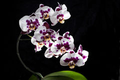 Colrful orchids isolated on black background Stock Images