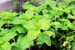 Cols, зеленые листья мяты засаженные в баках Стоковое Изображение