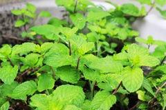 Cols, зеленые листья мяты засаженные в баках Стоковые Фото