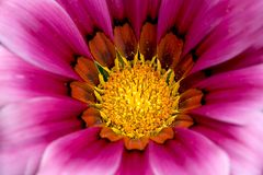 Colsed up chrysanthemum Royalty Free Stock Photo