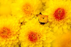 Colsed up chrysanthemum Stock Photos