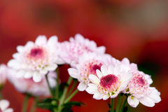 Colsed up chrysanthemum Royalty Free Stock Photos