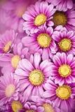 Colsed up chrysanthemum Stock Image