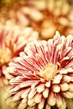 Colsed up chrysanthemum with butterfly Stock Image