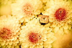 Colsed up chrysanthemum with butterfly Stock Photography
