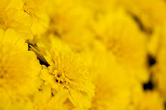 Colsed up yellow chrysanthemum with nice color Stock Photos