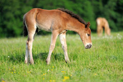 Colt. Wild horse Colt in a meadow royalty free stock photo