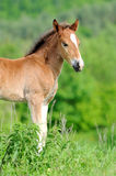 Colt. Wild horse Colt in a meadow royalty free stock images