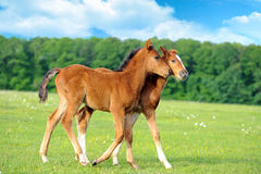 Colt. Wild horse Colt in a meadow stock images