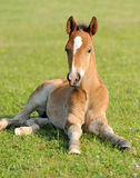 Colt. Wild horse Colt in a meadow stock photo