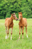 Colt. Two foals grazing on a green pasture Royalty Free Stock Photo