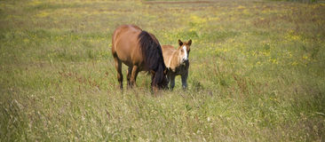 Colt. Horse whit youth colt on green grass Royalty Free Stock Image