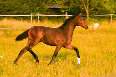 Colt. Chestnut colt running in pasture royalty free stock photography