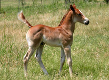 Colt. Two week old chestnut colt, standing in green pasture Royalty Free Stock Photography