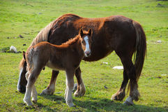 Free Colt And Mare Stock Photo - 9855820