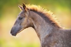 Free Colt Close Up Portrait Royalty Free Stock Images - 139182969