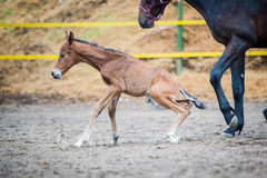 Colt (2-day) walks and played in paddock Stock Photos