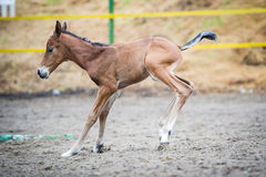 Colt (2-day) walks and played in paddock Royalty Free Stock Photography