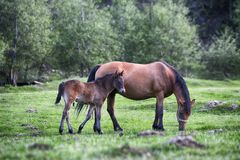 Colt drink milk from mare in pasture. Royalty Free Stock Photo