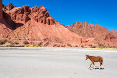 Colt in a Dry Desert Royalty Free Stock Photography