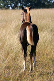 Colt in Field. Dark brown, liver chestnut, colt with blond flaxen mane and tail, on autumn morning, in tall wheat colored grass in meadow, sunshine, tree line in Stock Photos