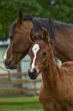 Colt, foal and mother Stock Images