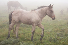 Colt in the fog Royalty Free Stock Photo