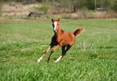 Colt gallop Royalty Free Stock Image