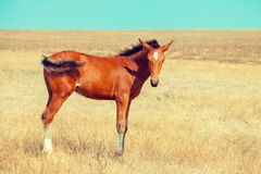 Colt grazing on the meadow. Little foal grazing on the meadow with dry grass Stock Photos