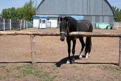 Colt has bridle, horse barn royalty free stock photography