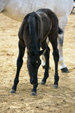 Colt with his mother in an equestrian competition Royalty Free Stock Photos