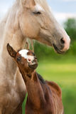 Colt with mare Royalty Free Stock Photos