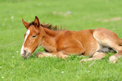 Colt on a meadow Stock Image
