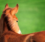 Colt. On a meadow in summer day royalty free stock photography