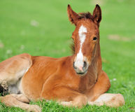 Colt. On a meadow in summer day royalty free stock photos