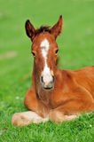 Colt. On a meadow in summer day royalty free stock photo