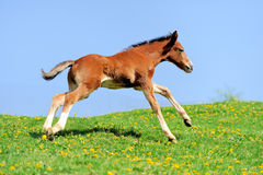Colt. On a meadow in summer day royalty free stock images