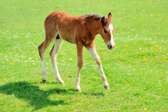 Colt. On a meadow in summer day stock photography