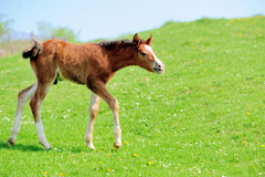 Colt. On a meadow in summer day stock image