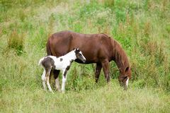 Colt and mother horse on Blue Ridge Parkway, Virginia Royalty Free Stock Photography