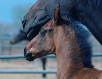 Colt and mother Stock Image