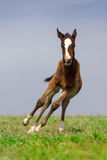 Colt in motion Royalty Free Stock Photos