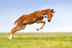 Colt in motion Royalty Free Stock Photo
