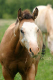 Colt with Mouthful of Grass. Paint colt with grass hanging out both sides of mouth, forelock sticking straight up, spring pasture, white mare in background Royalty Free Stock Photos
