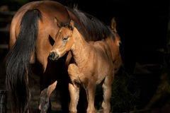 Colt next to mother. Stock Photography