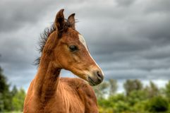 Colt portrait dramatic sky Stock Photography
