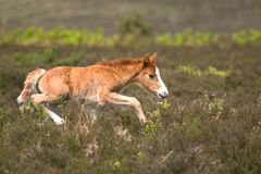 Colt on the run. Wild colt running across heathland Stock Photography